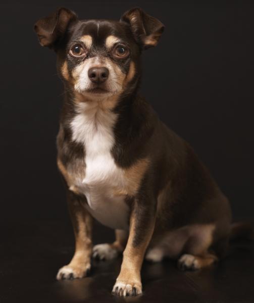 Elegant Small Dog Photo by Pet Photography NY
