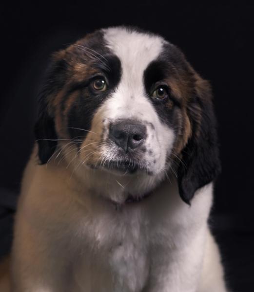 Puppy St Bernard by Pet Photography NY